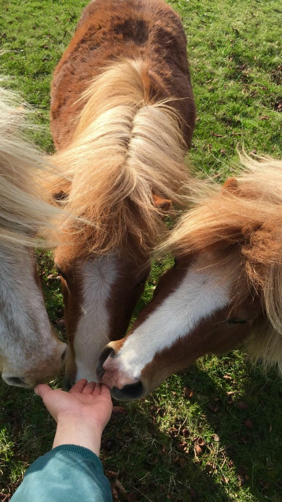 falabella ponies